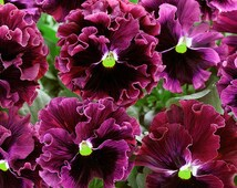 Annual: FRIZZLE SIZZLE Burgundy Pansy 25 Seeds *Unique* Viola x wittrockiana - Fresh Flower Seed, High Quality, Germination