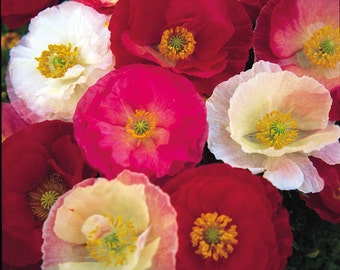 "Perennial: POPPY 'SHIRLEY"" 100+ Seeds, Pink,White,Red, Rose, Colorful, Beauty, Easy To Grow - High Germination, Fresh Seed"