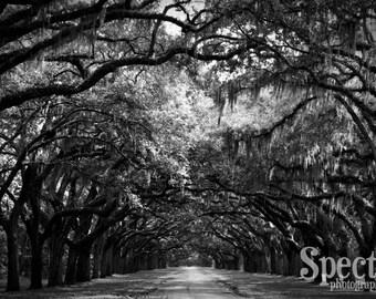 Savannah Wormsloe Plantation Black and White Fine Art Photographic Print