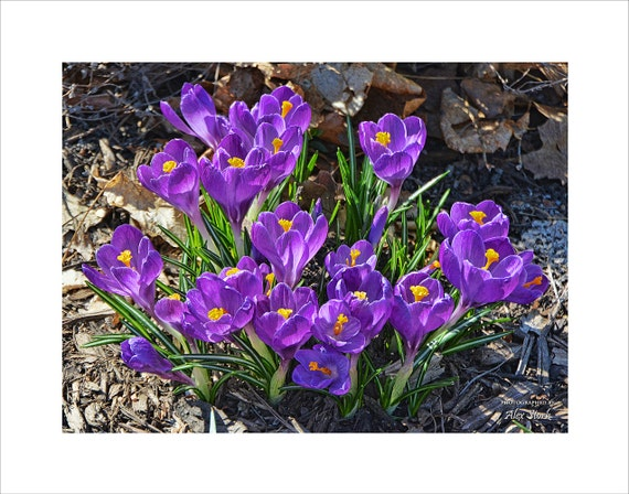 early spring flowers purple crocus blossoms flowers dutch