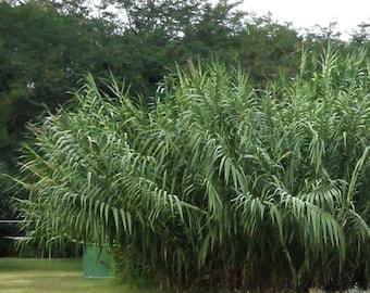 Arundo DONAX*GIANT zone 6 cold hardy plant 1 medium size RHIZOME