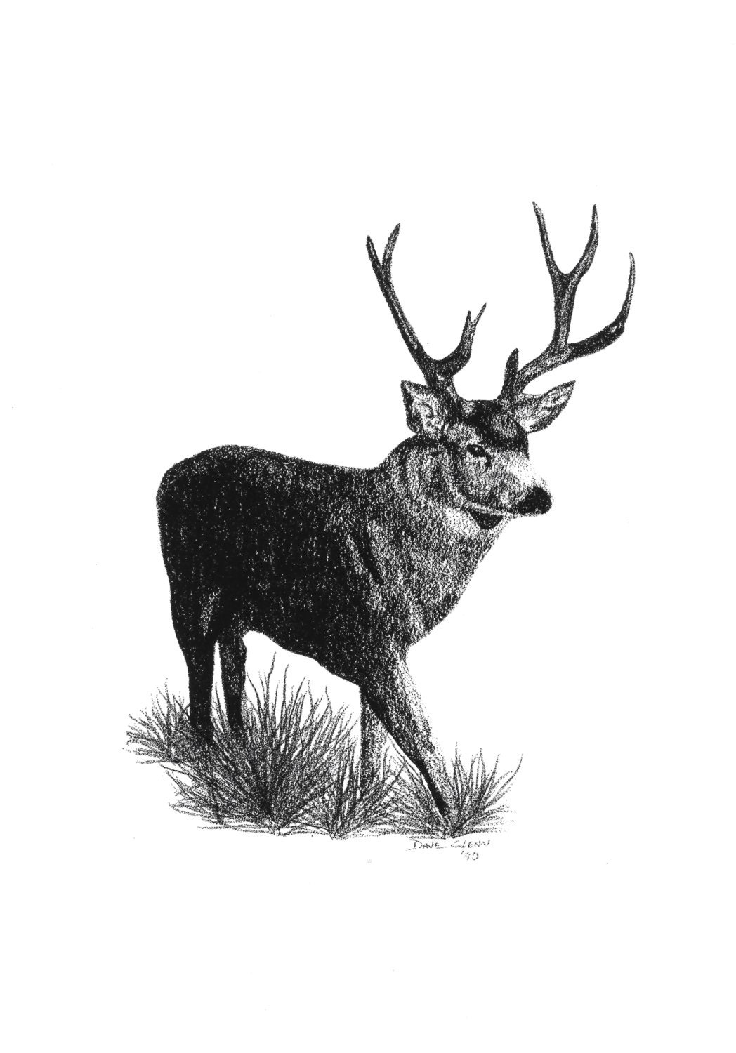 Pencil Drawing Deer Mule Deer Buck Deer Wildlife
