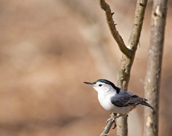 White-breasted Nuthatch, Bird Photo, White-breasted Nuthatch Photo, Nature Photo, Photograph Print
