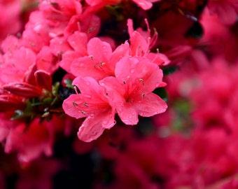 Azalea Pink Flower Color Image Photographic Print