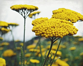 Botanical photography print yellow yarrow flowers floral nature wall art - Maize Yellow