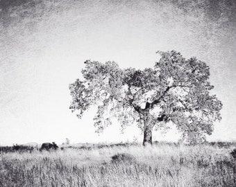"Black and white tree photography print oak tree in meadow landscape nature rustic grey wall art  ""Faded Oak"""