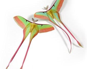 Papercut Chinese Moon Moth Decoration
