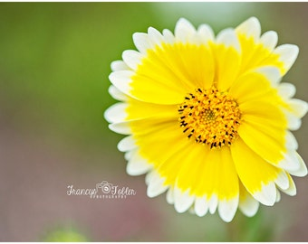 Spring Yellow and White Blossom Flower Fine Art Canvas wrap- macro 2