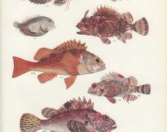 Blackbelly Rosefish, Vintage Fish Print, 1950's, Margaret Smith Ichthyology 83, Fishing Decor, Hunting Decor, Cabin Decor, Gift for Him