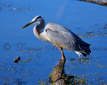Early Morning Great Blue Heron Fine Art Photograph - Bird Photography - Bird Decor - Heron Art - Wildlife Art