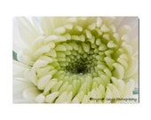 White Floral Chrysanthemum Wall Art Photography Print Home Decor Custom Size Floral Print