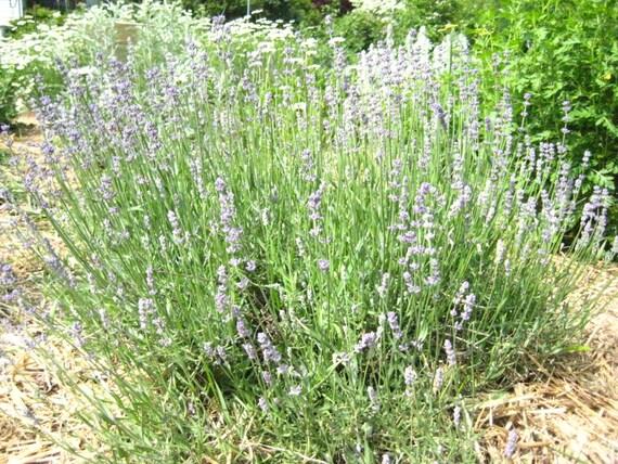 Herbal Salve, Calendula, Comfrey