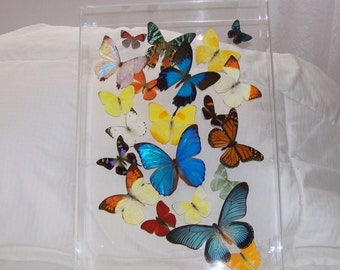 Real Butterflies Gracefully Mounted in a Beautiful Swarm