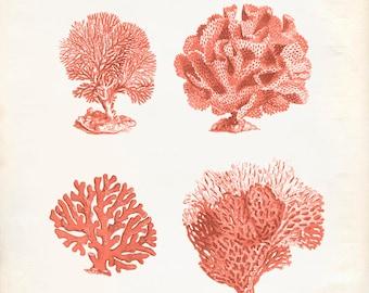 Vintage Sea Fan Coral Print 8x10 P292