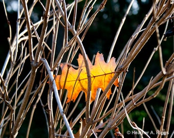 Leaf, Fall, Autumn, Golden, Orange, Nature, Branches, brown, Oak, photograph