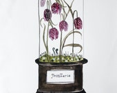 Fritillaria Vivarium  11x14 Archival Watercolor Print