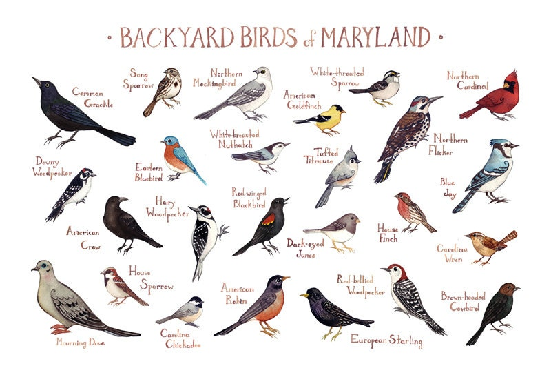 Maryland Backyard Birds Field Guide Art Print Watercolor