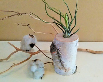 Air plant terrarium - Birch Tree log -  Tillandsia air plant -  Bulbosa air plant - Holiday Gift -  Terrariums -  Birch tree terrarium