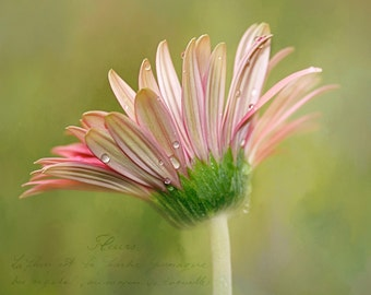 Spring Flower, Daisy,Fine Art Photo, 12x12, Print Signed by Me