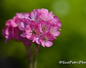 Pink Flower Photograph, Sea Pink, Thrift, Armeria Maritima, Black Leaved Thrift, Flower Photos, Cottage Chic, Shabby Chic, Pink, Romantic