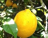 Organic Lemon marmalade