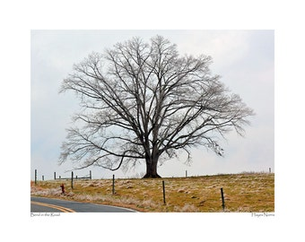 Bend in the Road, shows a majestic old oak tree that stands in a field just on the side of White Store Road.