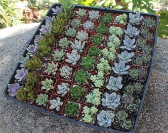 """60 Wedding collection Beautiful Succulents in their plastic 2"""" Pots great as Party Gift WEDDING FAVORS"""