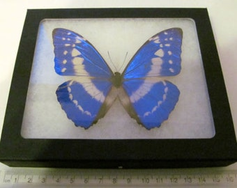 Real framed butterfly blue white south american morpho cypris