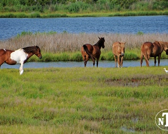 Wild Ponies On Assateague Island, Maryland, Nature Photography, Horses, Cowboy, Cowgirl, Equine Home Decor, Animal Photography
