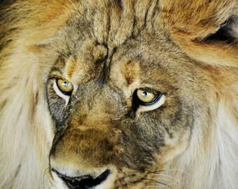 Lion   Photography Print