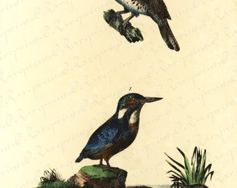 Antique Original Hand colored Engraving of two Gorgeous Birds Le Mordore and Le bec D Argent  Small folio - Ornithologie