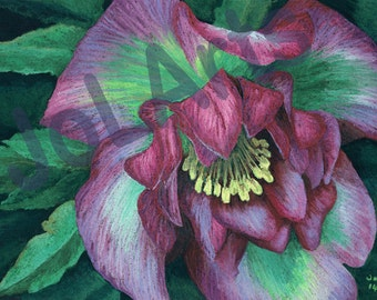 Large Print from and Original Soft Pastel Painting or Drawing of a Hellebore flower. Wall art, Print, Giclee, Pink and Green