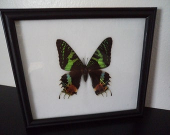 Real Large Madagascar Sunset Moth Butterfly Framed Display Taxidermy Lepidopterology Entomology