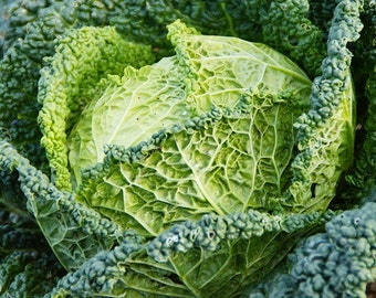 SAVOY cabbage - unique heirloom vegetable seeds