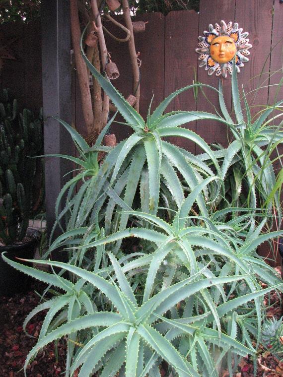 aloe spinosisima lg succulent plant sale. Black Bedroom Furniture Sets. Home Design Ideas