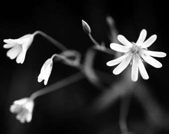 Black and White Photography -  Nature - White Flowers - Contemporary Fine Art - Minimalist Art -