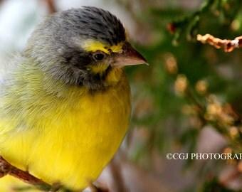 Nature Photography, Wildlife Photography, Bird Photography, Animal photography, photography wall art, home decor, yellow bird,