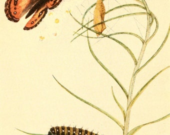 Vintage Reproducton Print Beecroft Butterflies Painted Beauty A4 Natural History Entomology