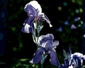 photo, flower artwork, slightly abstract, botanical style, garden image, purple iris, wall decor, select size