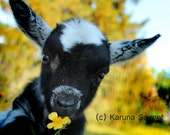 Lola Jean Happy Days: rescued goat taking time to smell the flowers