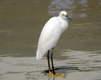 Snowy Egret Matted photograph