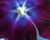 Center Star Instant Photo Download, Insta-Photo, Macro Photography, Tulip, Purple, Indigo, Flower, Nature, Blue, White