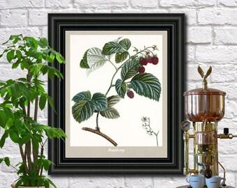 Raspberry Illustration Botanical Print Vintage Plant Illustration Kitchen Art Pierre Poiteau wall art.  0396