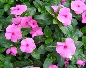 Vinca Pink Periwinkle Flower Seeds / Annual   40+