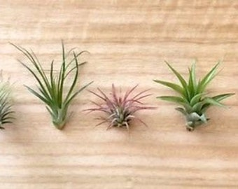P4 - 5 Tillandsia air plant sampler pack #4