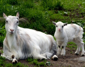 Mother and Child / Goats  download.jpg