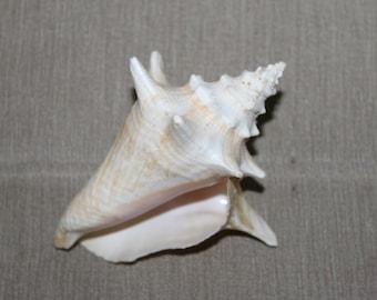 Vintage Brown Striped Conch Shell Specimen Marine Sea Snail Giant Spiral White Seashell Mollusk Strombus Lobatus Gigas Villacollezione Ocean