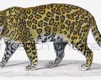 1861 Antique Engraving Jaguar Original Antique Print Safari Drawing Wall Hanging home decor Lithography African Animals