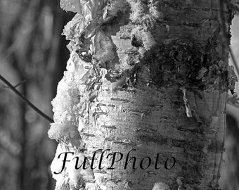 Birch Photography -  Black and White - Birch Bark - Tree - Nature - 4x6 -8x10 -8x12 -11x14 -12x18 -16x20 -16x24 -20x24 -20x30 -24x36
