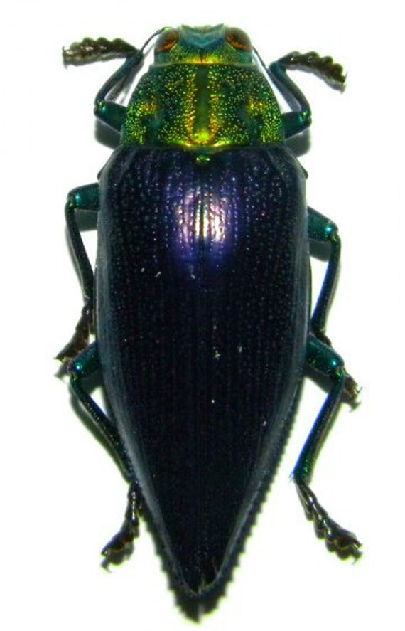 Supplies for your artworks - dried insects - :  Lot of 10 beetles  Gelaeus walkeri, buprestidae , jewelbeetle  UNMOUNTED A1/aa-